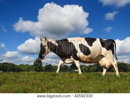 horse-Cow the new breeding