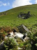 stock photo of billy goat  - Goats photographed at Valley of the Rocks near Lynmouth in Devon - JPG