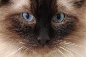 stock photo of rag-doll  - radgoll cat detail as very nice animal background - JPG