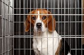 foto of caged  - Sad Beagle dog sits locked in a cage - JPG