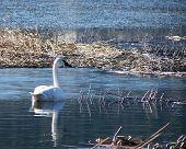 foto of trumpeter swan  - Trumpeter Swan swimming - JPG