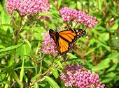pic of monarch butterfly  - a monarch butterfly feeding
