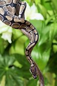 pic of jungle snake  - Royal Python snake creeping on a wooden branch - JPG