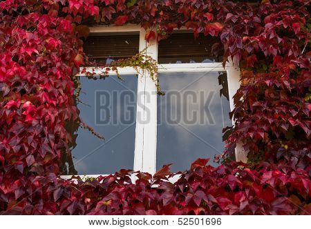 Red And Green Ivy Surround Windows On Cottage