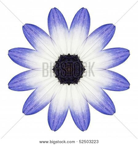 Blue Osteospermum Daisy Flower Kaleidoscope Isolated On White