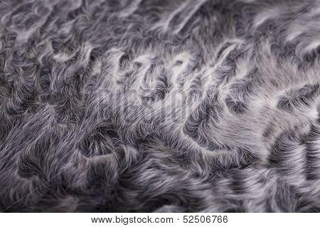 Gray Sheep Fur