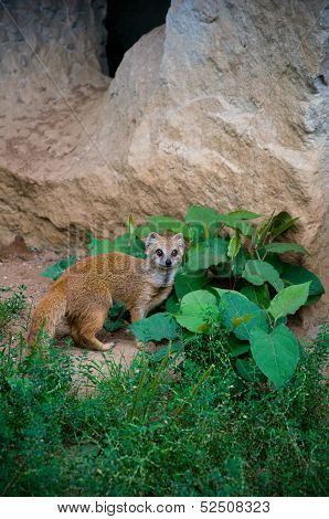 Weasel Sitting Near The Cave