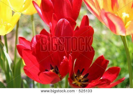 Spring Tulips 4