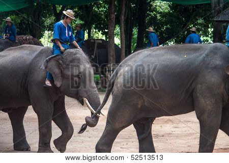 Mahouts ride on elephants
