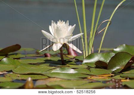 Beautiful Lotus flower.