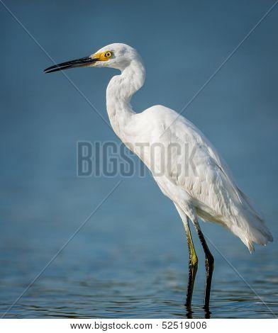 Little Egret Wading In Jamaica Bay