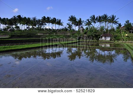 Ricefields Terraces -and Coconut Trees Under Blue Sky