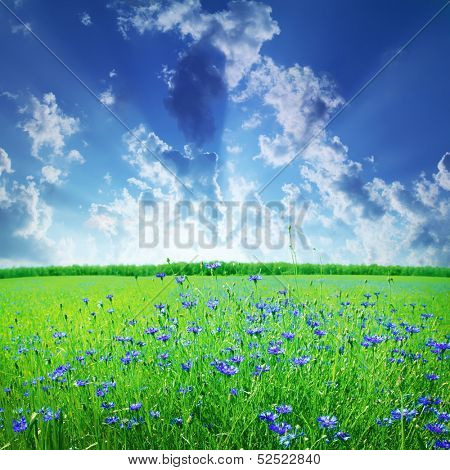 Clods in blue sky and cornflower field.