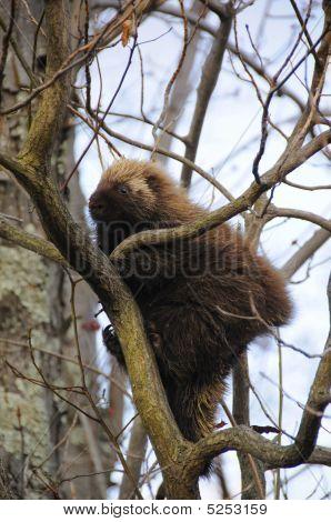 Porcupine1