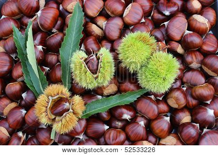 Chestnuts with burrs