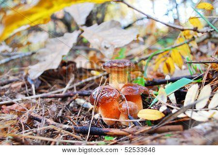 Xerocomus Badius  Boletus Mushroom Family.