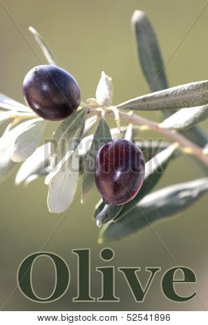 Black Olive on branch and sample text .