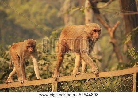 Rhesus Macaques Walking On A Fence, New Delhi