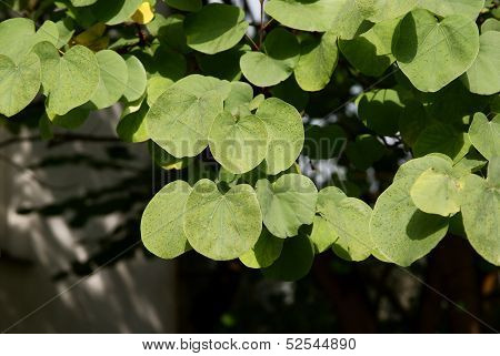 judash tree with green leaves