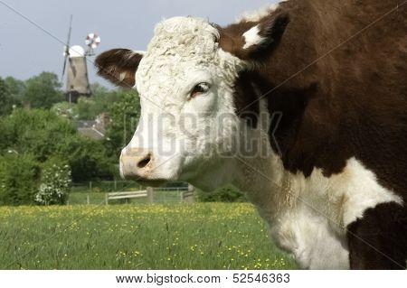 Bull And Windmill