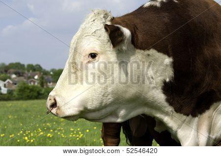Bull Profile