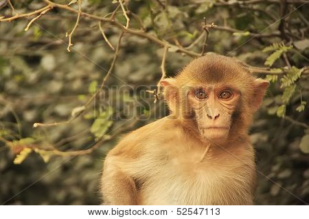 Portrait Of Young Rhesus Macaque, New Delhi