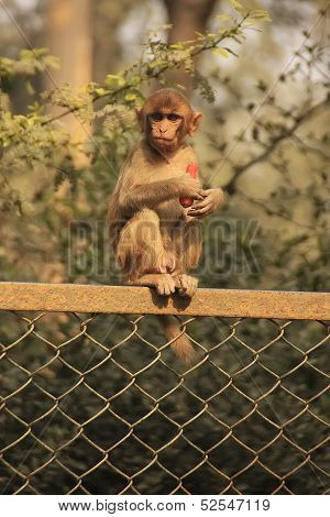 Rhesus Macaque Eating Carrot, New Delhi