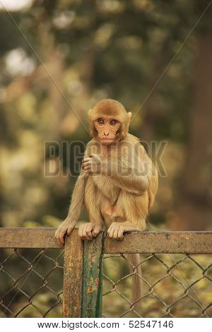 Young Rhesus Macaque Sitting On A Fence, New Delhi