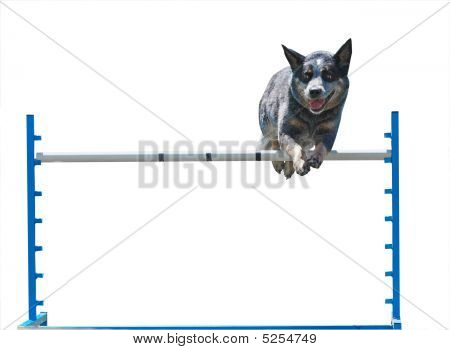 Australian Cattle Dog Jumping