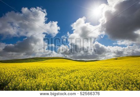 Gorgeous Canola Field lit up by the sun
