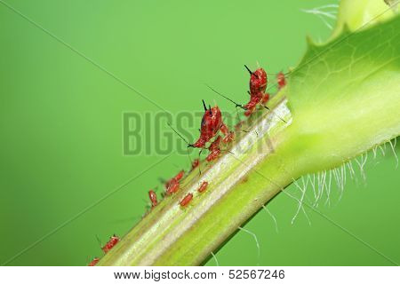 Aphid On Green Plant