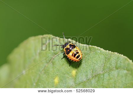 Stinkbug Nymphal On Green Leaf