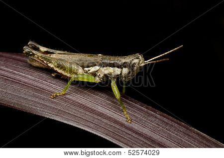 grasshopper perching on a dried leaf with black background