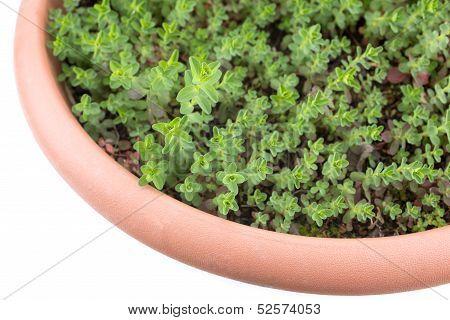St. john's wort plants