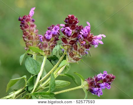 lila flowers of selfheal wild plant close up
