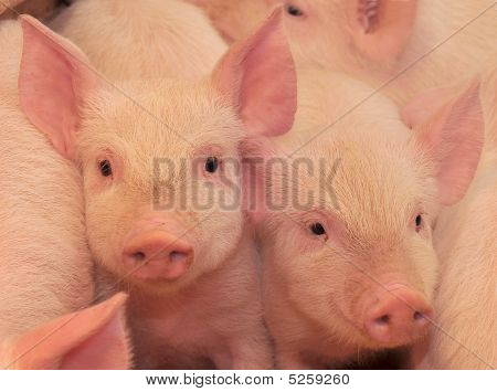 Pigs On One Of Farms