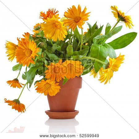 beautiful bouquet of flower calendula officinalis in ceramic flowerpot Isolated on white background