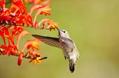 stock photo of crocosmia  - Annas Hummingbird in flight - JPG