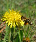Bee Flying To A Dandelion