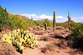 picture of prickly-pear  - Arizona desert view with saguaro cacti and prickly pear - JPG
