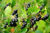 stock photo of chokeberry  - Branches of black chokeberry in the garden - JPG