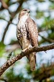 picture of small-hawk  - coopers hawk perched on tree watching for small prey