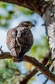 image of small-hawk  - coopers hawk perched on tree watching for small prey - JPG