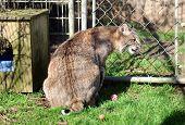 foto of bobcat  - A bobcat walks around in a cage - JPG