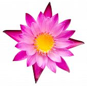 Pink Lotus Blossom Or Water Lily Flower Blooming
