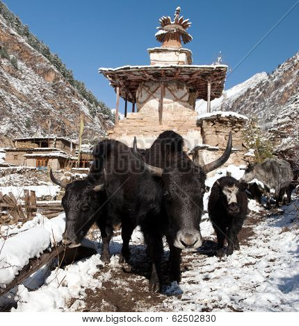 Group Of Yaks And Village In Lower Dolpo - Western Nepal