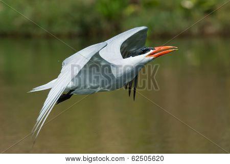 Caspian Tern In Flight Tilting Back Its Head To Drink A Mouthful Of Water