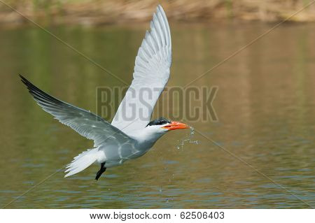 Caspian Tern In Flight Which Has Scooped Up A Mouthful Of Water To Drink