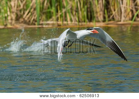 Caspian Tern Which Has Scooped Up A Mouthful Of Water To Drink In Flight