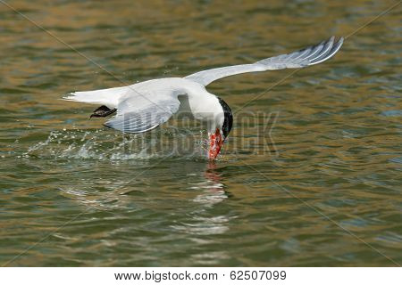Caspian Tern With Its Head Too Far Back Learning To Drink While Flying